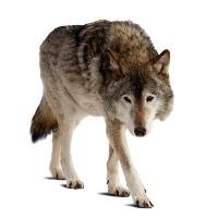 Síť na ochranu před vlky