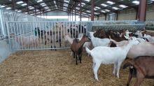 Brána pro ovce/kozy, svislé příčky, 3/3,30 m